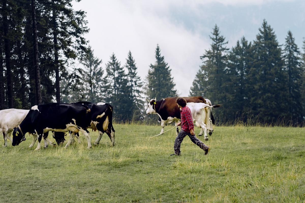Mucche al Pascolo in Malga Fai