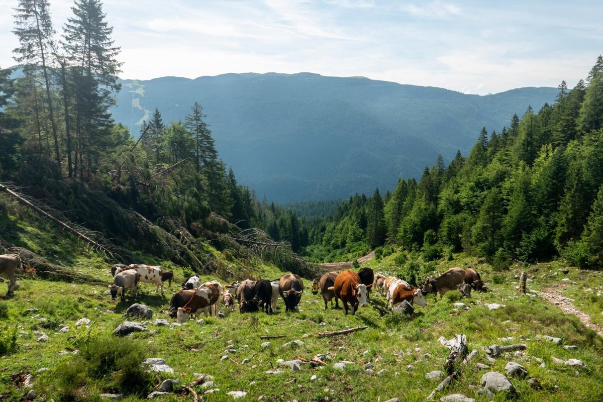 Mucche al pascolo lungo il sentiero