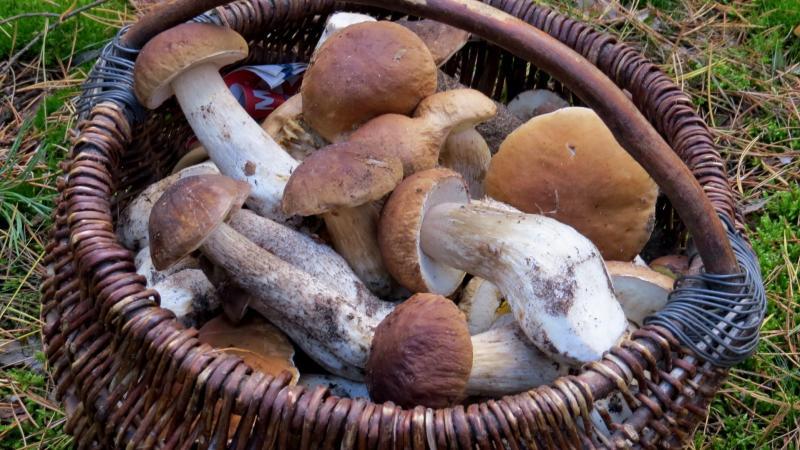 Raccolta funghi in Paganella